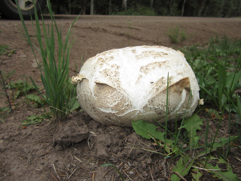 Giant Puffball2