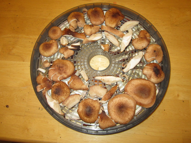 Drying mushrooms