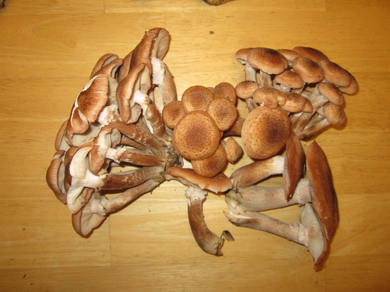 Honey Mushrooms5