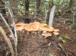 Honey Mushrooms3